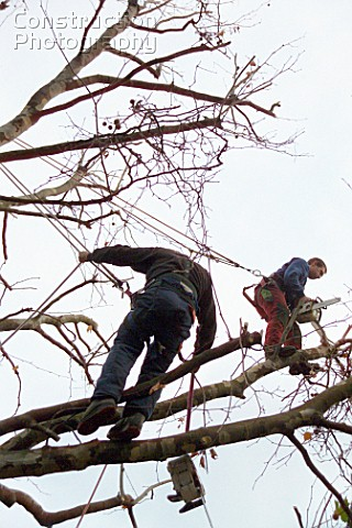 Tree surgeons trimming a tree