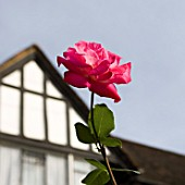 Rose in front of house
